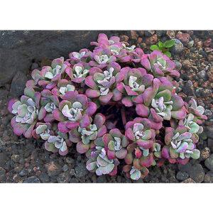 Седум лопатчатолистный Purpureum (Пурпуреум) по выгодной цене